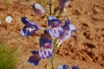 Penstemon comarrhenus, flowers
