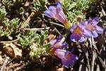 Penstemon caespitosus var. desertpicti