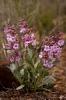 Penstemon flowersii_1