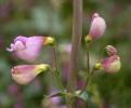 Penstemon floridus